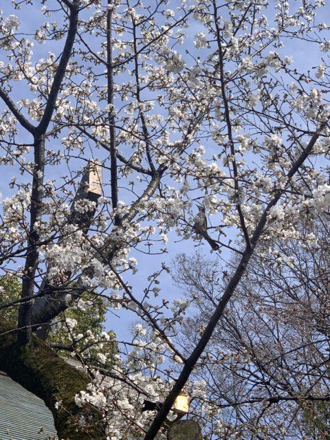 靖国神社の桜を見に行きました♪